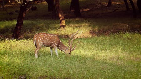 deer : Chital or cheetal, also known as spotted deer, chital deer, and axis deer, is a species of deer that is native in the Indian subcontinent. Ranthambore National Park Sawai Madhopur Rajasthan India.
