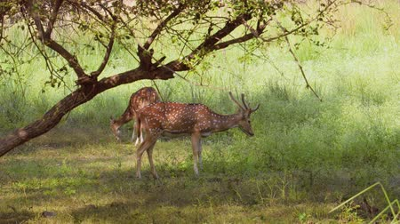 子鹿 : Chital or cheetal, also known as spotted deer, chital deer, and axis deer, is a species of deer that is native in the Indian subcontinent. Ranthambore National Park Sawai Madhopur Rajasthan India.