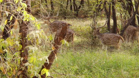 geyik : Chital or cheetal, also known as spotted deer, chital deer, and axis deer, is a species of deer that is native in the Indian subcontinent. Ranthambore National Park Sawai Madhopur Rajasthan India.