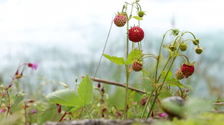 hajótest : Berry of ripe strawberries close up. Nature of Norway