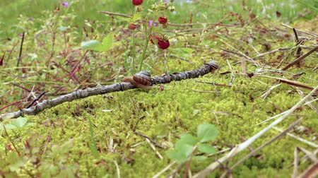 caracol : Snail slowly creeping along on green moss Stock Footage