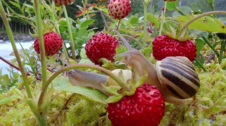 měkkýš : Snail close-up, looking at the red strawberries Dostupné videozáznamy