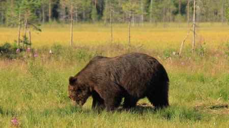 finlandiya : Brown bear (Ursus arctos) in wild nature is a bear that is found across much of northern Eurasia and North America. In North America, the populations of brown bears are often called grizzly bears.