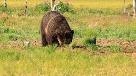 fazla : Brown bear (Ursus arctos) in wild nature is a bear that is found across much of northern Eurasia and North America. In North America, the populations of brown bears are often called grizzly bears.