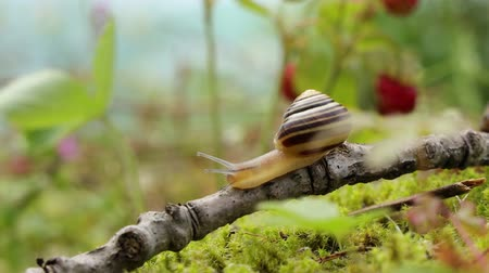 molusco : Snail slowly creeping along on green moss Stock Footage
