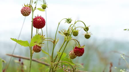 grass flowers : Berry of ripe strawberries close up. Nature of Norway