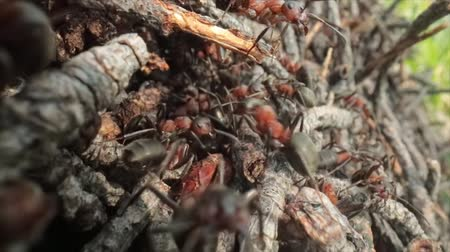 バグ : Wild ant hill in the forest super macro close-up shot