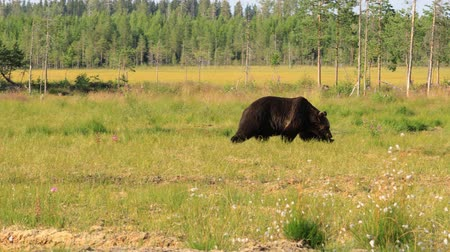 finland : Brown bear (Ursus arctos) in wild nature is a bear that is found across much of northern Eurasia and North America. In North America, the populations of brown bears are often called grizzly bears.