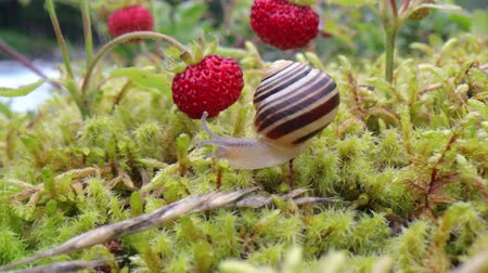 Snail close-up, looking at the red strawberries Стоковые видеозаписи