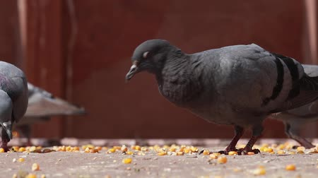 holubice : Pigeons on the walking street slow motion move. India Rajasthan.