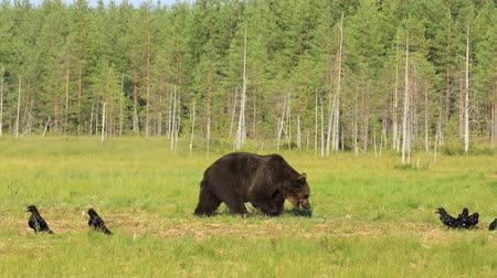 Brown bear (Ursus arctos) in wild nature is a bear that is found across much of northern Eurasia and North America. In North America, the populations of brown bears are often called grizzly bears.