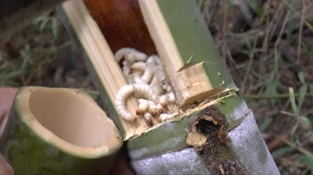 factor : People find bamboo worms to eat. this is traditional entomophagy life of Thai people in Northern Region.  Its pupae in bamboo or Scientific name Omphisa fuscidentalis Hampson. it is the most expensive edible insects. Stock Footage