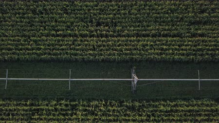 postřikovač : Quadcopter flying above the summer farmland, green corn crop meadow with irrigation system. Seasonal yield, organic eco nutrition production and modern technologies at the rows freshness cornfield