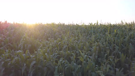 verim : Cornfield at the sunset. Beautiful background of the green farmland with row of plant in the sun lights shining between the stalks. Nobody, only fresh yield of corn. Industrial food business scene