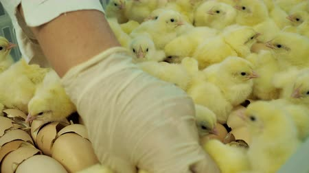 breed : Hatching baby chickens at farm incubator and sorting from eggshells to containers. Industrial incubation room with newborn broiler chicks. Person selection hatchery production at breeding factory