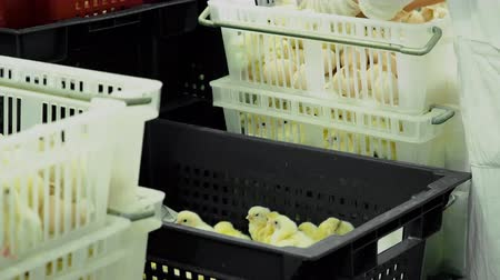 csajok : Person sorting hatching broiler chicks from incubator with eggshell to containers at farm. Industrial incubation at factory, production and breeding. Control and selection of newborn chickens