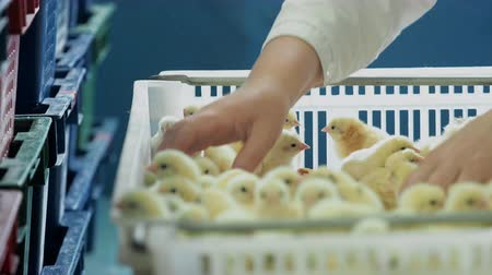 egg sorting : Selection and sorting hatching broiler newborn chicks from incubator to trays. Female person in work white clothes working at chicken farm, taking birds birthed from eggs and put to containers
