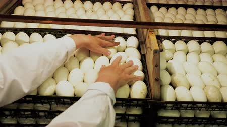 egg sorting : Female person organization and control the part of many duck eggs in containers before to put to incubator raws for hatching. Pecking duckling incubation scene. agricultural business concept Stock Footage