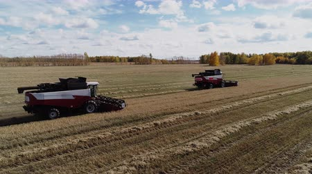 Harvester combines working at industrial autumn farm field with gold rye or wheat. Harvesting season of monoculture. Machine threshing the cereal plant, equipment harvest the farmland at sunny day Stock Footage