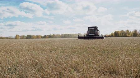 Combine harvester work at autumn rye field and threshing the ripe grain. Farm harvest with agriculture industrial technology. Harvesting machine at farmland cut the wheat. Organic food business Stock Footage
