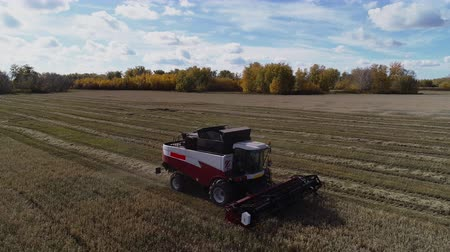 Drone view to industrial harvesting field with working combine harvester. Farming harvest machine threshing the wheat grains. Season nutrition production at farm. Nature rural autumn landscape
