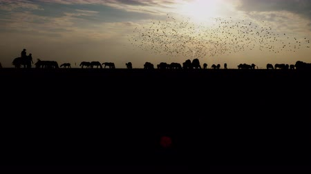 Dark silhouettes of horses herd moving in one direction and birds at horizon at sunset. Nature background of beauty evening grazing field. Travel countryside steppe for wild summer and inspiration