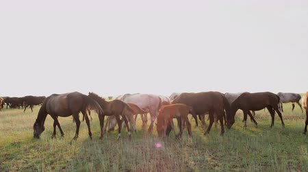 Domestic horses herd grazing on the pasture at rural field and feeding a green grass. Countryside tourism at nature, ranch in steppe under the summer sun. Scenic peaceful landscape and freedom concept 動画素材