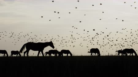 Black silhouettes of horse herd going in one direction on steppe and flying birds on the sky. Scenic travel background of countryside pasture and dramatic skyline horizon. Beautiful wild life scene