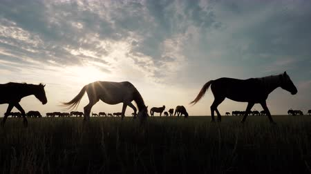 Wild beauty nature scene with grazing horse herd at steppe on sunset. Rural pasture meadow with silhouettes of stallion under the sunlight and colorful skyline on background. Freedom and inspiration Stock Footage