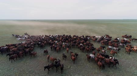 Pasture ranch with large horse herd gallop on the steppe and cowboy aerial view. Countryside nature and one rider herdsman control the pasture land at the evening. Beautiful scene of wild life