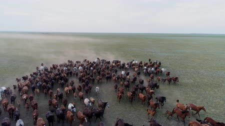 Pastureland aerial scene with large horse herd galloping on the green grass at evening. Kazakhstan wild nature beauty at spring. Rural steppe with grazing geldings and stallions. Freedom and power