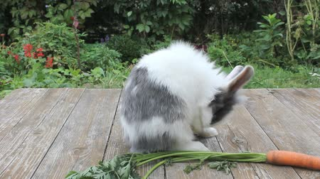 havuç : a small rabbit is dressing up Stok Video