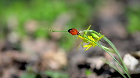 joaninha : Red ladybug resting on a warm day of spring Stock Footage