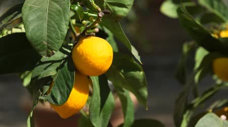 A shot of fresh lemons growing on a tree Stok Video
