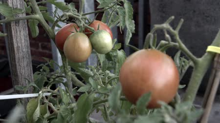 A tomato bush, focus pulls from the large bunch at the back to the one in the front