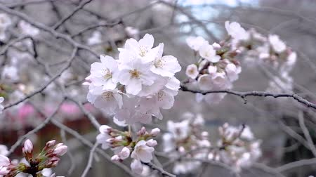 flor de cerejeira : peach blossom tree on Japan Tokyo river near the natural outdoor park