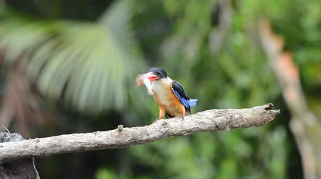 dal : Black-capped Kingfisher (Halcyon pileata) Stok Video