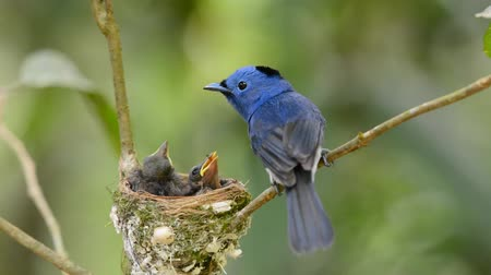 young bird : black naped monarch Stock Footage