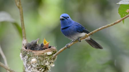 bird eye : black naped monarch Stock Footage