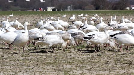 voar : Spring migratory snow geese with sound