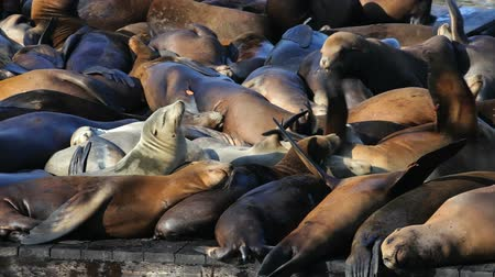 pecsét : Sea lions sunning themselves on an overcrowded pier