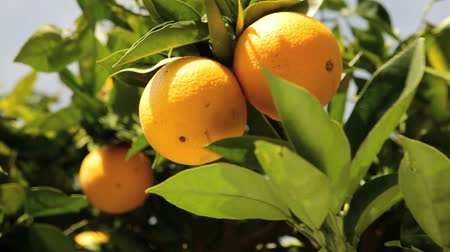 citrusové plody : California Navel oranges on a tree Dostupné videozáznamy