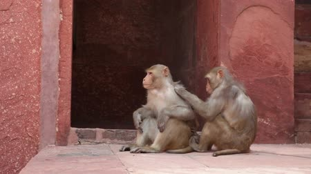 majom : Rhesus Macaque monkeys grooming at Agra Fort, Agra, Uttar Pradesh, India