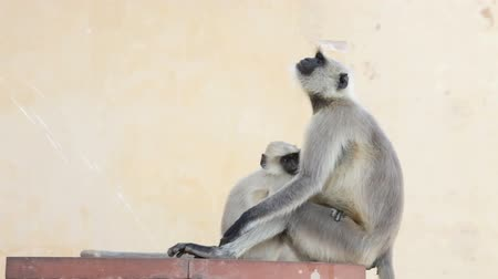 земной : Mother Gray Langur monkey holding infant, Amber Fort, Agra, Uttar Pradesh, India