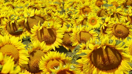 kimse : Field of Sunflowers