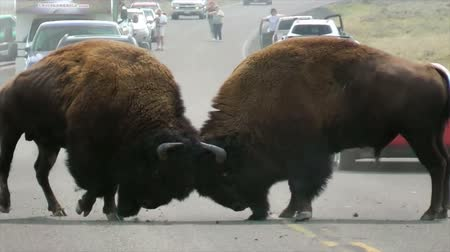 bojování : Buffalo fighting for dominance and rutting rights on the road at Yellowstone National Park