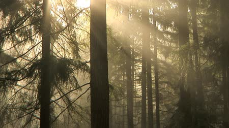 ışınları : Early morning light and fog drifting through the trees, time lapse