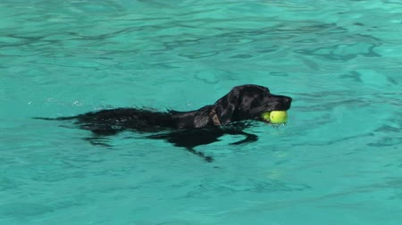 cachorro : Black Labrador paddling in a swimming pool with a tennis ball