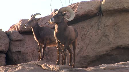koyun : Ram and doe Bighorn Sheep atop a rock