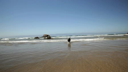 executar : Black Labrador dog playing in the surf, montage, Oregon Coast, handheld shot Stock Footage